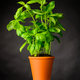 Basil Herb Growing in Pottery Pot - PhotoDune Item for Sale