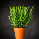 Rosemary Herb Plant Growing in Pot - PhotoDune Item for Sale
