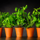 Herb in Pottery Pots on Dark Background - PhotoDune Item for Sale