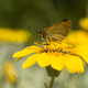Small skipper butterfly on yellow daisy flower - PhotoDune Item for Sale
