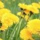 Dandelion Flowers in a Field Spring