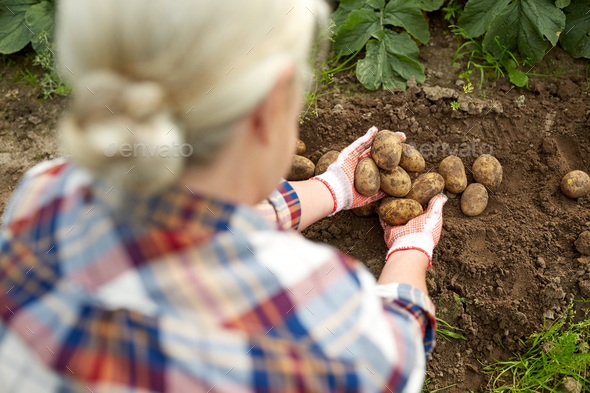 farmer with potatoes at farm garden - Stock Photo - Images
