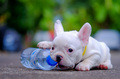 Dog obesity,Young french bulldog white a nibble plastic bottle o
