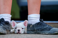 Young french bulldogs lie between black shoes.