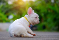 Dog obesity,Young french bulldog white Playing on the cement flo
