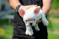 Boy carries white french bulldog puppy in hand.