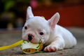 Dog obesity,Young french bulldog white a nibble toys on the ceme