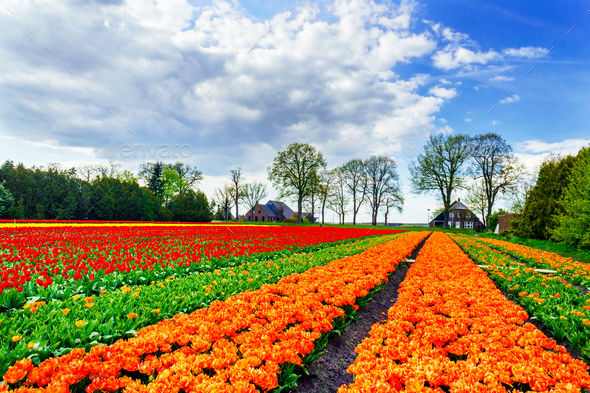 Wonderful tulips and fantastic sky by spring. - Stock Photo - Images