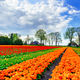 Wonderful tulips and fantastic sky by spring. - PhotoDune Item for Sale