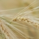 of Two Ripe Wheat Straws Waving in Wind - VideoHive Item for Sale