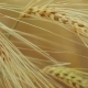 of a Isolated Ripe Wheat Straws Waving in Wind - VideoHive Item for Sale