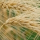 of Two Ripe Wheat Straws Waving in Wind. Deep Green on Background - VideoHive Item for Sale