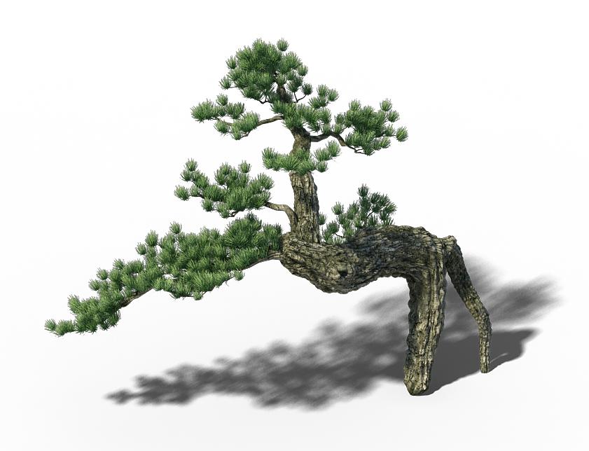 Big Tree - White Chishan - Pine 03