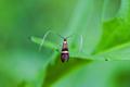 Longhorn moth (Adela degeerella) on a green leaf