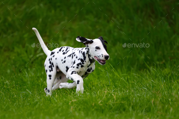 Dalmatian dog outdoors in summer - Stock Photo - Images