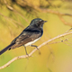 Willie Wagtail - PhotoDune Item for Sale