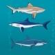 Common Sharks Set Vector Illustration - GraphicRiver Item for Sale