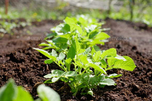 Green potato plant. Leaf of vegetable. Organic food agriculture in garden, field or farm in a row. - Stock Photo - Images