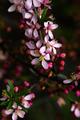 Blooming almond tree (Prunus dulcis) in the sun at spring - PhotoDune Item for Sale