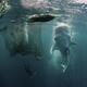 Vertical Feeding Whale Shark - PhotoDune Item for Sale