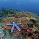 blue starfish on a reef - PhotoDune Item for Sale