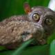 Boholian wild tarsier - PhotoDune Item for Sale