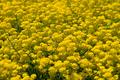 Flowers of barbarea vulgaris - PhotoDune Item for Sale