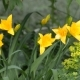 Flowering Yellow Daylilies - VideoHive Item for Sale