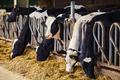 Cows on Farm. Many cows are feeding in farm