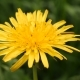Yellow Dandelion Flower Head - VideoHive Item for Sale