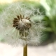 Common Dandelion Flower 1 - VideoHive Item for Sale