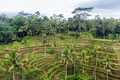 rice plantation terrace on Sri Lanka