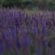 Field of Lupin Wildflowers - VideoHive Item for Sale
