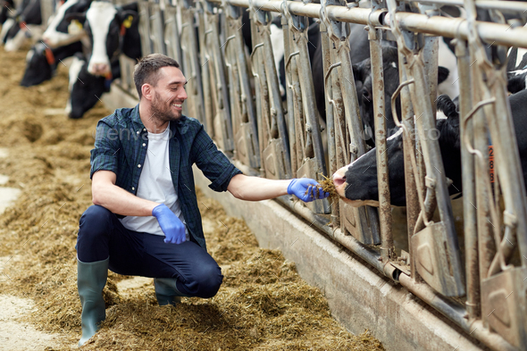 man feeding cows with hay in cowshed on dairy farm - Stock Photo - Images