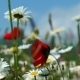 Poppy and Daisy Flowers Swaying in the Wind - VideoHive Item for Sale