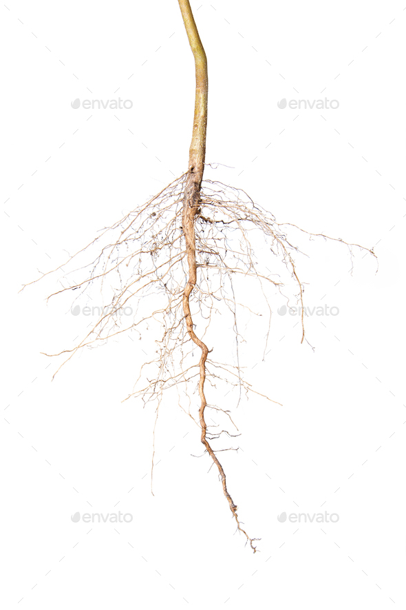 Close up of roots tree - Stock Photo - Images