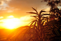 Cannabis plant at sunrise - PhotoDune Item for Sale