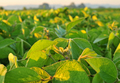 Close up photo of soybean plant - PhotoDune Item for Sale