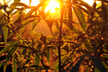 Silhouette of cannabis plant at sunrise - PhotoDune Item for Sale