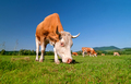 Cow grazing in a field - PhotoDune Item for Sale