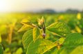 Soybean plant in warm early morning light - PhotoDune Item for Sale