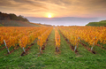 Yellow coloured vineyard in early autumn morning - PhotoDune Item for Sale