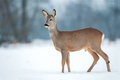 Young roe buck without antlers during winter time - PhotoDune Item for Sale