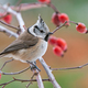 Crested tit, perching on a twig - PhotoDune Item for Sale