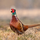 Wild pheasant (Phasianus colchicus) in a field - PhotoDune Item for Sale