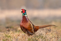 Wild pheasant (Phasianus colchicus) in a field - PhotoDune Item for Sale