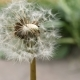 Common Dandelion Flower 2 - VideoHive Item for Sale