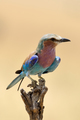 Lilac-breasted roller in National park of Kenya