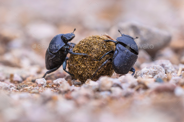 Two strong slogging dung beetles - Stock Photo - Images