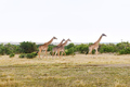 group of giraffes walking along savannah at africa